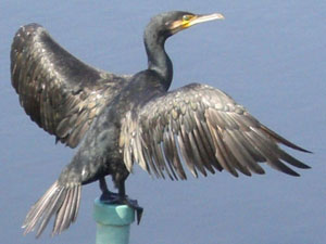 Ukai (Cormorant Fishing)